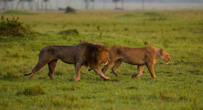 6 days Nakuru and Amboseli wildlife safari