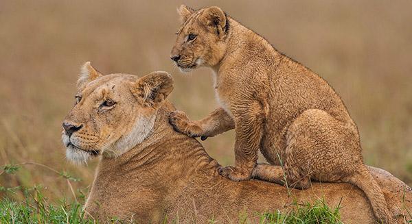 3 days Masai Mara and Nakuru safari