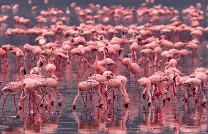 Flamingos in Lake Nakuru National Park