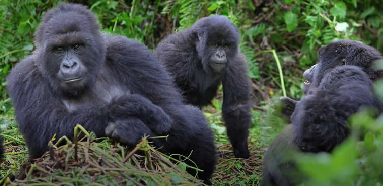 Mountain Gorilla Trekking in East Africa
