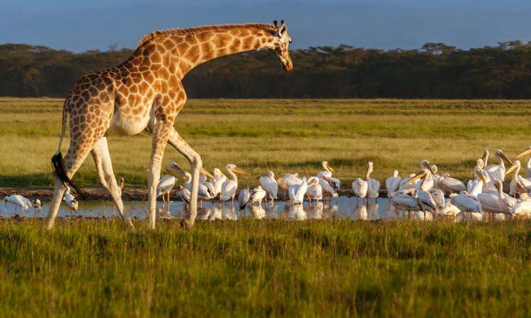 Rothschild's giraffe in Lake Nakuru National Park