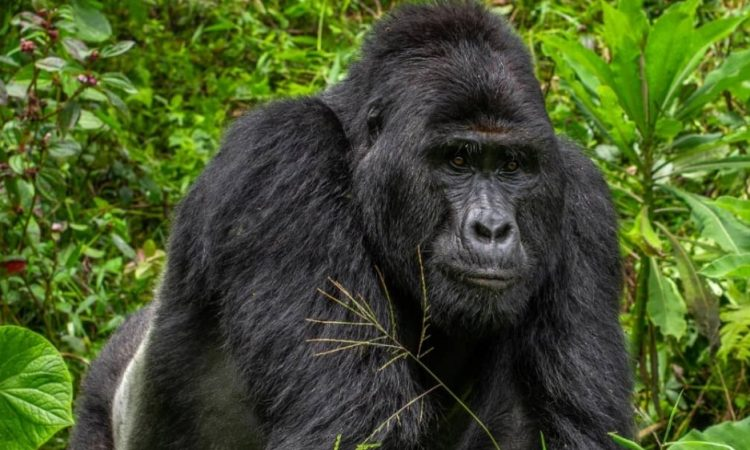 Best Time for Mountain Gorilla Trekking