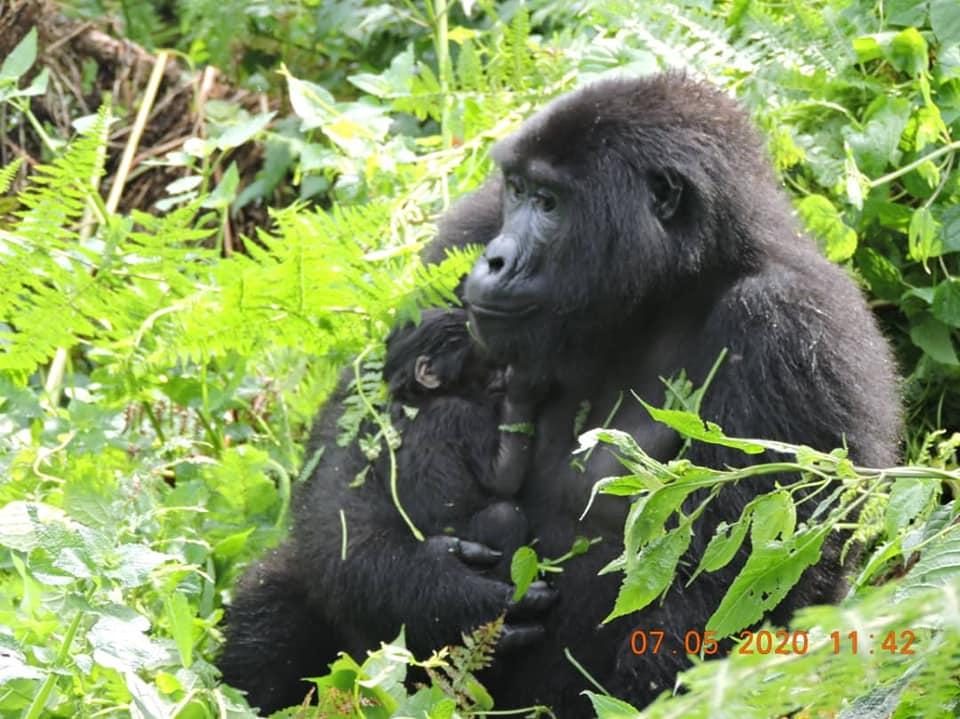 3 Days Congo Gorilla Trekking safari