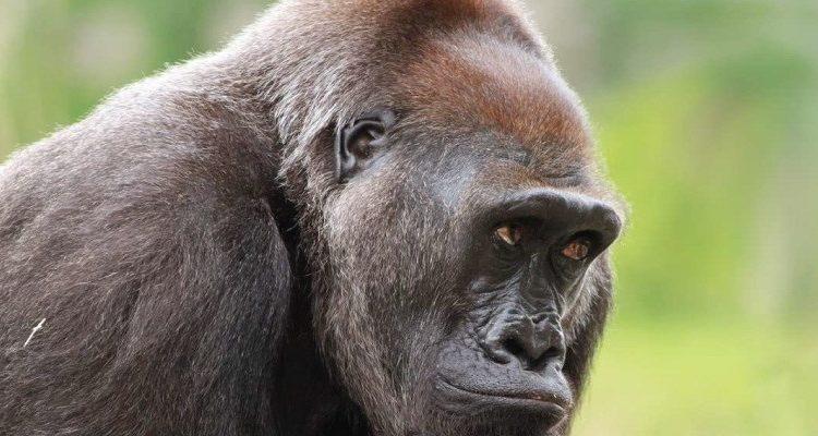 3 days Kahuzi Biega gorilla safari