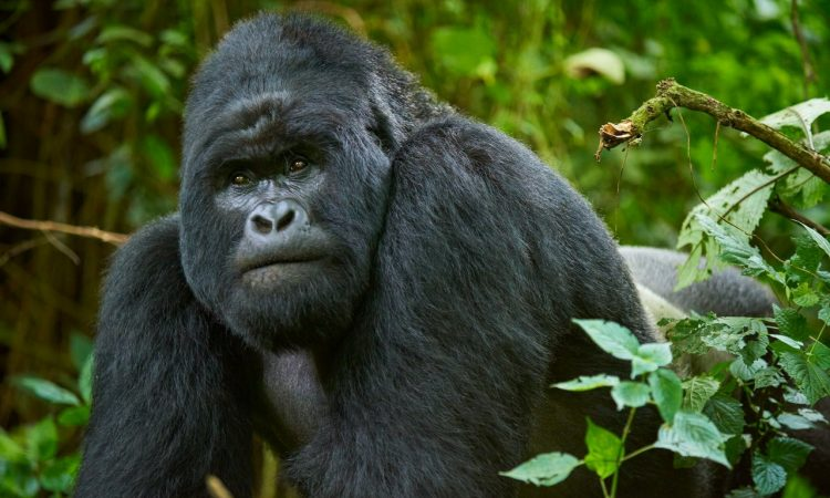 4 Days Rwanda Gorilla and Nyiragongo Hike safari