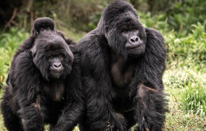 Mountain Gorilla Families in Bwindi National Park