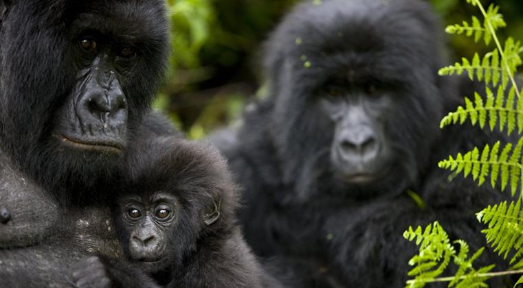 Mountain Gorilla Trekking in Uganda