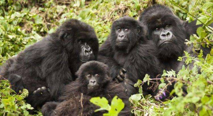 Mountain Gorilla families in Volcanoes National Park