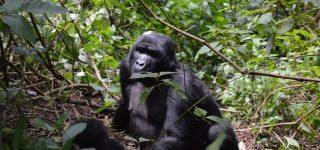 Primate Parks Reopened in Uganda