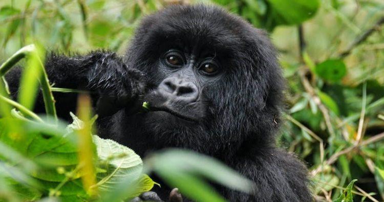 10 Days Congo Gorilla Trekking Safari