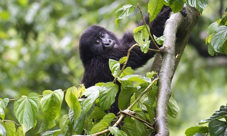 6 Days Bwindi Gorilla Trekking & Lake Nakuru Wildlife Safari from Kigali