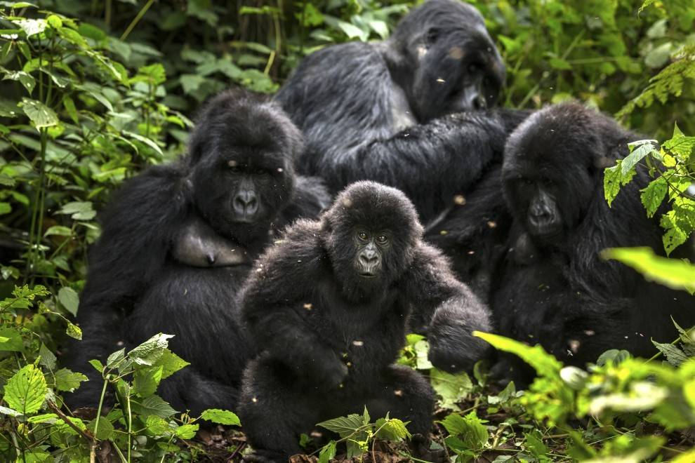 Mountain gorilla families in Virunga national park