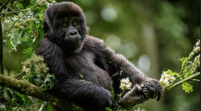 4 Days Uganda Double Gorilla trekking safari