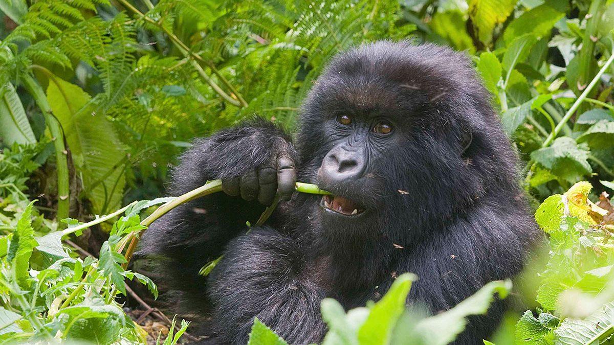 4 days Gorilla trekking Rwanda safari & Karisimbi Hike