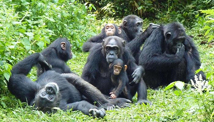 5 Days Uganda Gorillas & Chimpanzees Safari